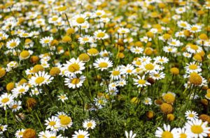 uses for roman chamomile