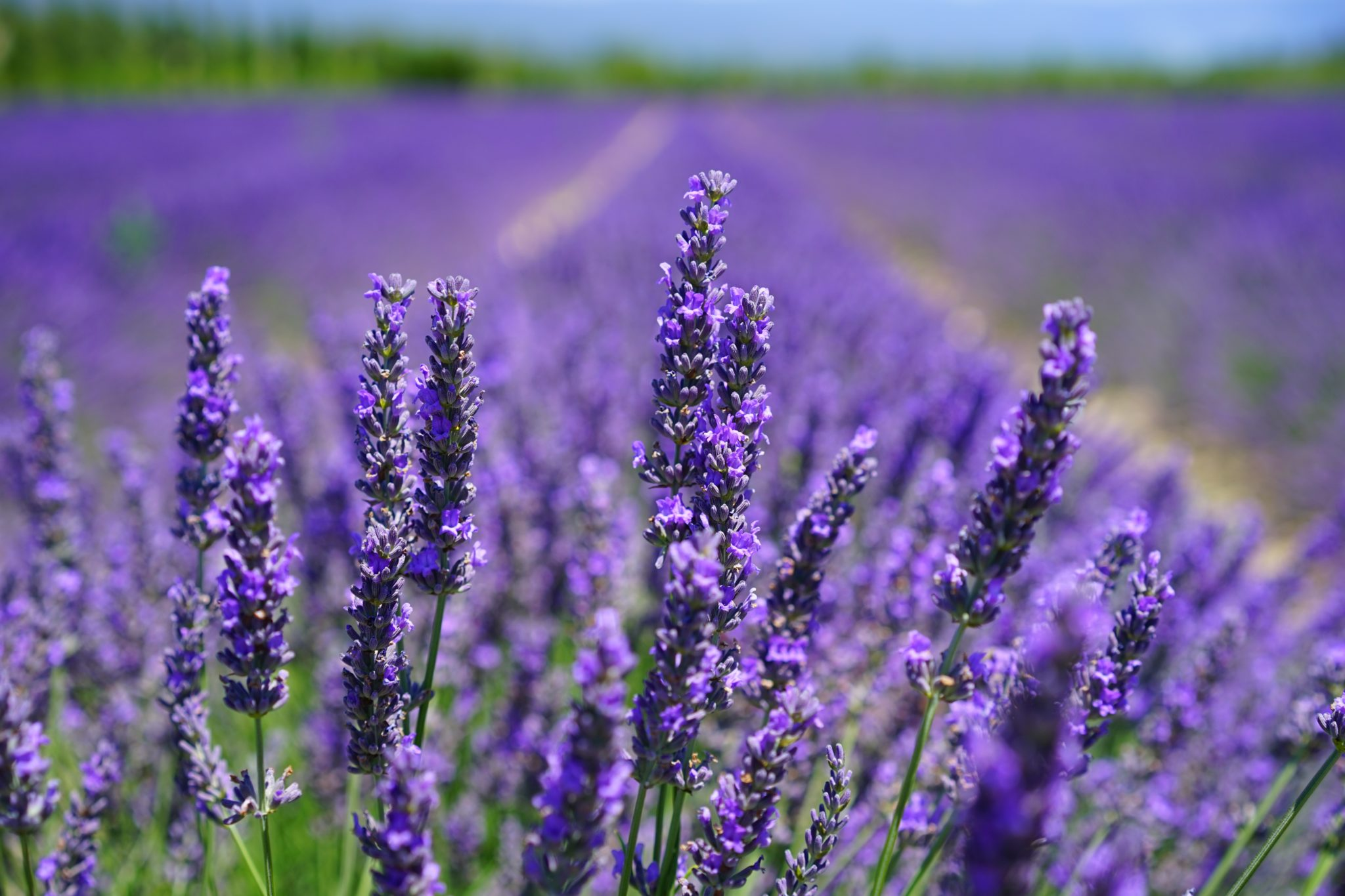 how to use lavender