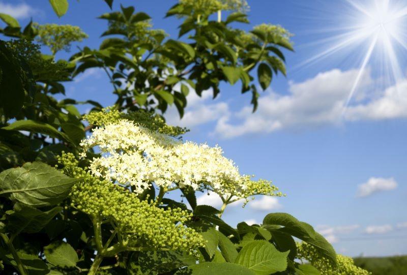 Elderflowers used to make Elderflower hydrosol