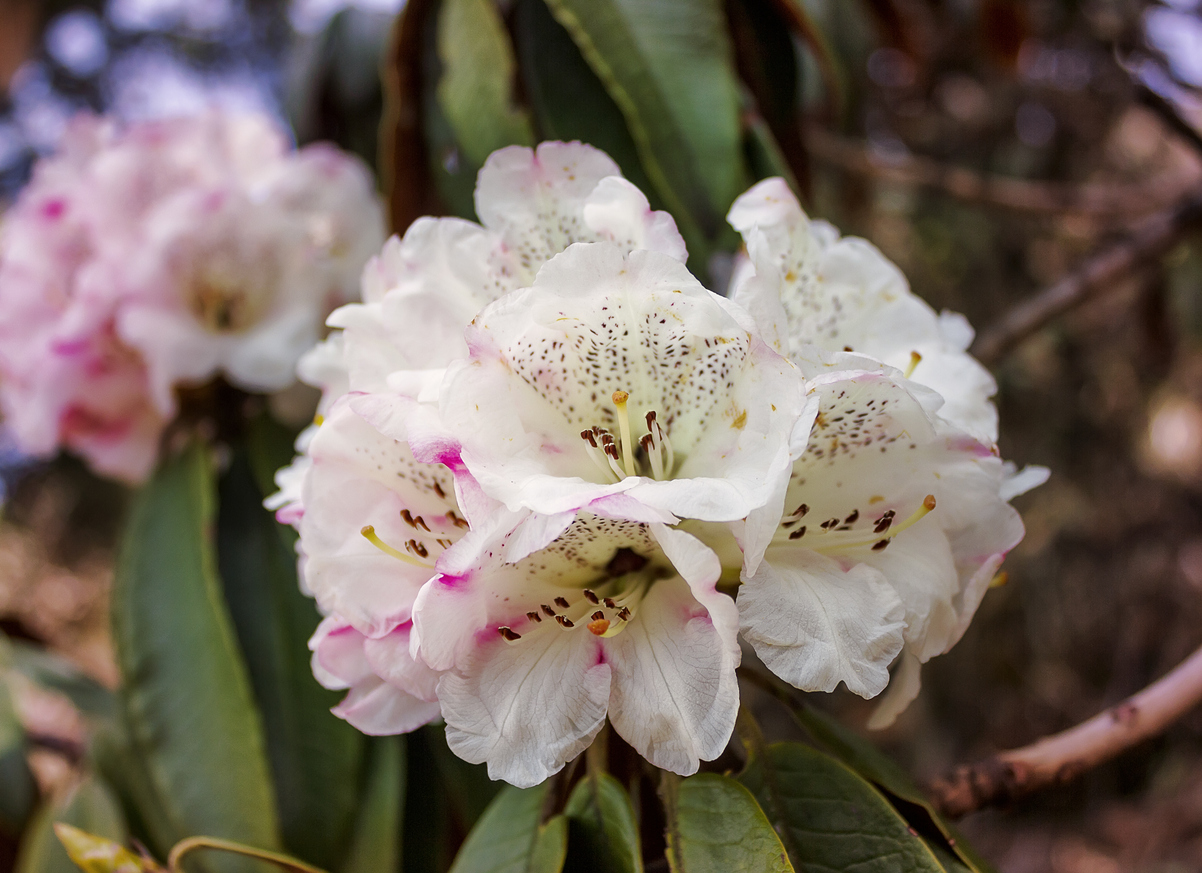 Blossoming rhododendrons in spring in Nepal